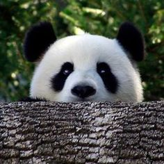 Baby Panda 🐼❤️ Tag your friends❗️ #cute #instagood #followback