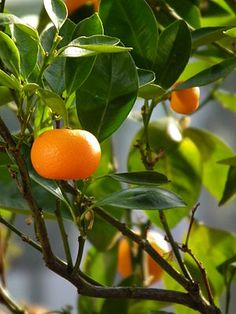 Unshu Orange (citrus reticulata): The mandarin orange (Citrus reticulata; Chinese: 橘子, p júzi; Cantonese: 柑, kam¹ or gam¹), also known as the mandarine, is a small citrus tree with fruit resembling other oranges. Mandarins are usually eaten plain or in fruit salads. Specifically reddish-orange mandarin cultivars can be marketed as tangerines, but this is not a botanical classification. Mandarins are smaller and oblate rather than spherical like the common oranges (which are a mandarin…