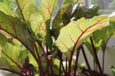 Leafy Greens Explosion! Veggie Patch Ramblings | May