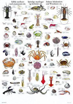 Edible Mollusks