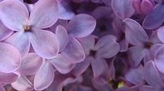 Lilac Simple Syrup