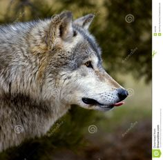 Timber Wolf (Canis Lupus) Sticking Tongue Out Stock Image - Image of nature, animal: 664189 Wildlife Photography, Animal Photography, Timber Wolf, Mule Deer, Cute Baby Animals, Wild Animals, Siberian Tiger, Nature Images, Snow Leopard