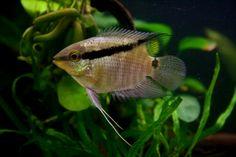 Mesonauta festivus: flag or festivum cichlid Saltwater Aquarium Fish, Freshwater Aquarium, South American Cichlids, Discus Fish, Fish Tanks, Sea World, Tropical Fish, Atlantis, Pet Shop