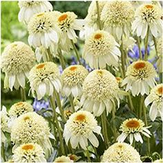 The Echinacea 'Milkshake' is another fabulous double white coneflower in the Cone-Fections series from AB-Cultivars. Plants are larger than the similar looking variety Meringue and are perfect for mixing in with most any color of mid-sized perennials.  The dainty white blooms hold their color extremely well -  a characteristic that some other white Echinaceas lack. Milkshake coneflower plants have nice sturdy stems which makes them perfect cutting.