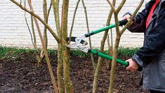 Pruning your crape myrtle (in early spring;) In Spring TX we prune in February and not like that. We don't take it down we just prune the crossed and touching limbs Pruning Climbing Roses, Pruning Hydrangeas, Hydrangea Shrub, Hydrangea Garden, Hydrangea Flower, Garden Yard Ideas, Lawn And Garden, Garden Landscaping, Crepe Myrtle Landscaping