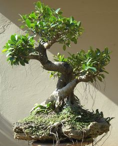 bonsai de figueira -  ️More Pins Like This At FOSTERGINGER @ Pinterest♓️