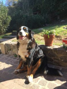 Bernese Mountain, Mountain Dogs, Cute Little Animals, Belle Photo, Pup, Photos, Animals, Factory Farming, Bern