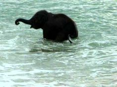 Happy Little Baby Elephant Frolicking in the Ocean