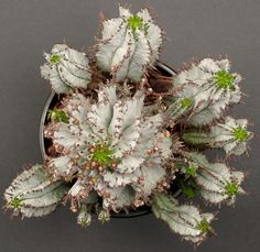 Euphorbia polygona 'Snowflake' #1 | by J.G. in S.F.