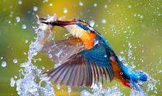 Resultado de imagem para martim pescador