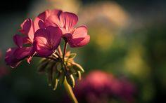 Naturaleza flores de color rosa macro flores de color rosa geranio 1920x1080 Fondos