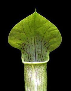 Pale Pitcher Plant - Carnivorous - Sarracenia alata - 3 Pot $7.99 (save $2.01)