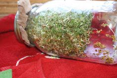 Preparing - One Day at a Time: Day 37 Alfalfa Sprouts