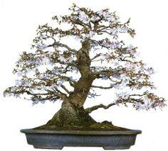 bonsaitoday:  Fuji Flowering Cherry Prunus Incisa, Bonsai Today #59, Cover