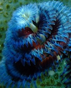 So cool—blue & red Xmas Tree Worm❣ photographer, Niall Deiraniya Under The Water, Life Under The Sea, Under The Ocean, Sea And Ocean, Ocean Ocean, Fish Ocean, Fish Fish, Betta Fish, Underwater Creatures