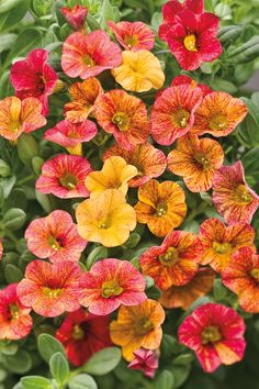 Enjoy The Sunrise - Spring Through Frost! Calibrachoa Superbells Tequila Sunrise, Calibrachoa 'Tequila Sunrise' PPAF, is a Proven Winner® plant, has undergone rigorous testing to be sure that it will perform in the garden under a variety of conditions Beautiful Gardens, Beautiful Flowers, Patio Planters, My Flower, Flower Power, Flower Colors, Flower Beds, Yellow Flowers, Colours