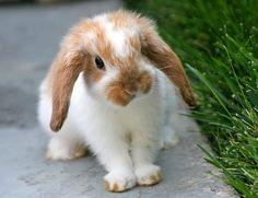 cute holland lop bunny