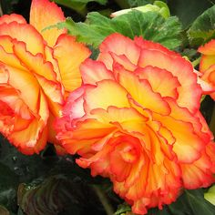 Yellow and peach begonias