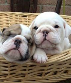 Hermosos bull dog ingles ♥.♥