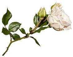клипарт «цветы» png. Обсуждение на LiveInternet - Российский Сервис Онлайн-Дневников