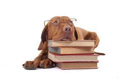 Vizslas are intelligent dogs