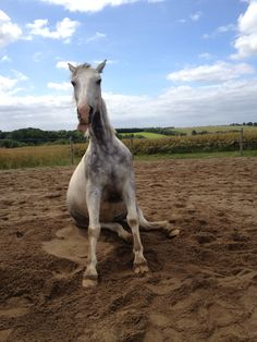 sitting grey pinto horse Silas. Teehee :P this made me giggle