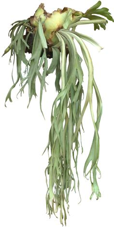 Staghorn Fern - one of my favorite plants