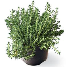 Sedum Rupestre 'Blue Spruce' - Our Favorite Succulents - Southern Living