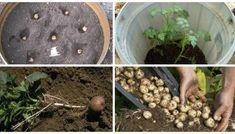 How to make a Potato Barrel for growing lbs of potatoes in a small space Potato Barrel, Potato Box, Potatoes In A Barrel, Potato Gardening, Planting Potatoes, Container Gardening, Gardening Tips, Diy Plante, Gardens