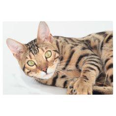 Bengal cat portrait metal print - cat cats kitten kitty pet love pussy