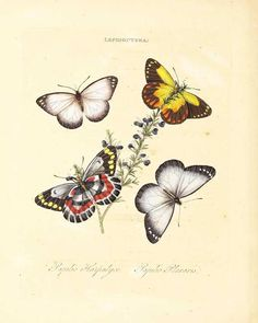 The Biodiversity Heritage Library works collaboratively to make biodiversity literature openly available to the world as part of a global biodiversity community. Butterfly Metamorphosis, Butterfly Drawing, Butterfly Wall Art, Butterfly Painting, Vintage Butterfly, Butterfly Decorations, Beautiful Butterflies, Botanical Illustration, Natural History