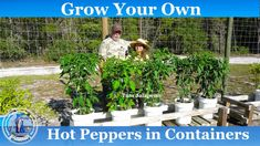 Growing Bell Peppers, Have A Blessed Day, Grow Your Own Food, Stuffed Hot Peppers, Harvest, The Creator, Seeds, Container, Youtube
