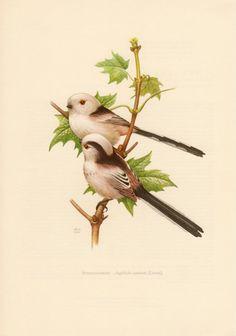 1956 Long-tailed Tit, Antique Print, Vintage Lithograph, Aegithalos caudatus, Passerine Bird, Schwanzmeise, Aegithalidae, Ornithology