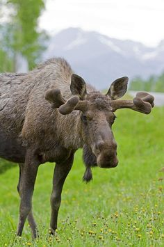 Roadside Bull Moose- A favorite animal.