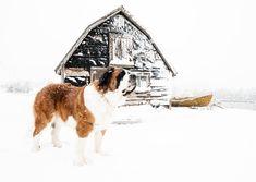 Nova Scotia Duck Tolling, St Bernard Dogs, Dog Boarding, Winter Scenes, St Bernards, Coastal, House Styles, Photography, Dog Daycare