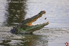 Nile Crocodile catching fish, Sunset Dam. #Kruger #safari #photography #reptiles Nile Crocodile, Reptiles, South Africa, Safari, Fish, Sunset, Photography, Animals, Photograph