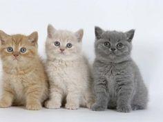 British shorthair, chatons 6 semaines
