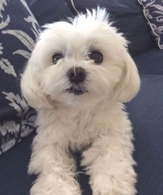 Everything we all like about the Intelligent Havanese Puppy Havanese Puppies, Maltese Dogs, Cute Puppies, Cute Dogs, Dogs And Puppies, Maltipoo, Teacup Maltese, Animals And Pets, Baby Animals