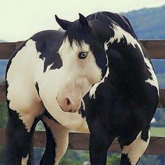 beautiful horse, black and white horse