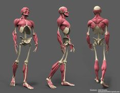 Its really tough to study Human Anatomy, such a complex thing . Studied Human Anatomy using some basic shapes, all in Z-brush with the help of my mentor. Thank you Vijay Pratap Singh Sir. 3d Anatomy, Anatomy Images, Human Anatomy Drawing, Human Body Anatomy, Anatomy Sketches, Anatomy Poses, Muscle Anatomy, Anatomy Study, Human Anatomy For Artists