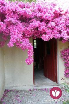 Bougainvillea - i love it everytime Pretty In Pink, Pink Flowers, Beautiful Flowers, Nail Swag, Tropical Garden, Dream Garden, Bonsai, Garden Landscaping, Outdoor Gardens