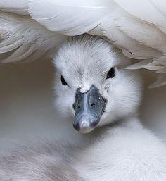 "beautiful-wildlife: "" Swan by Stefano Ronchi """