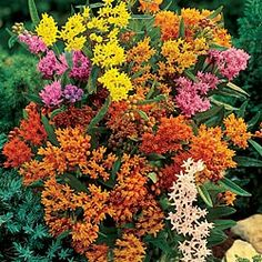 Bring a delicate and fine look to your garden with Spring Hill Nurseries Butterfly Weed Asclepias Mixture, Live Bareroot Perennial Plants in Orange Flowers. Butterfly Weed, Butterfly Plants, Butterflies, Monarch Butterfly, Perennial Grasses, Sun Perennials, Perennial Gardens, Spring Hill Nursery, Flower Pot Design