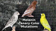 Melanin Canary Color Mutations