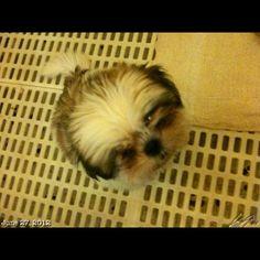 ?って感じのLuna #shihtzu #puppy #dog #philippines #フィリピン #犬 #シーズー