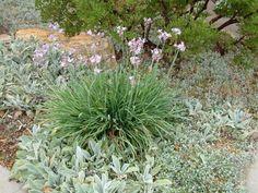 Plant photo of: Tulbaghia violacea