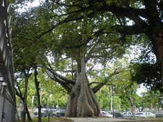 O baobá da Praça da República em Recife/PE. Foto: Celso Calheiros