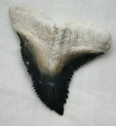 Shark Teeth | Fossil Hemipristis Shark Tooth