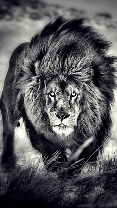 Lion tattoos hold different meanings. Lions are known to be proud and courageous creatures. So if you feel that you carry those same qualities in you, a lion tattoo would be an excellent match Lion Images, Lion Pictures, Animal Pictures, Beautiful Cats, Animals Beautiful, Animals And Pets, Cute Animals, Grand Chat, Lion Photography