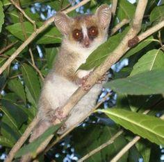 Grey mouse lemur, Madagascar. Credit: Melanie Dammhahn